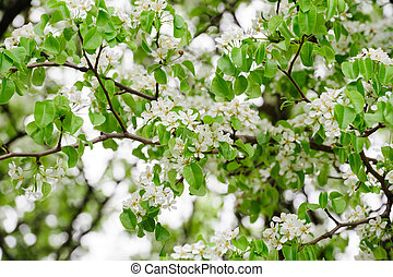 Apple tree branch with blosoms