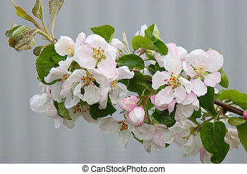 Apple tree branch with flowers.
