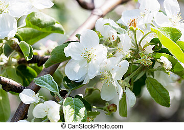 Apple-tree branch with flowers close up