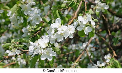 Apple-tree branch with flowers in the spring
