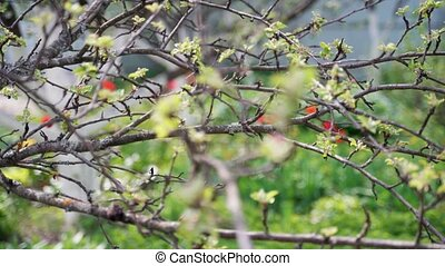 apple tree branch with gentle flowers and small green leaves...