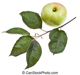 apple tree branch with green leaves