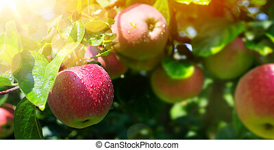 Apple tree branch with Organic red apple on blurred green nature garden background.