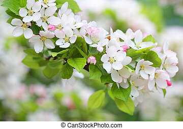 Apple tree branch with pure white blossoms in spring