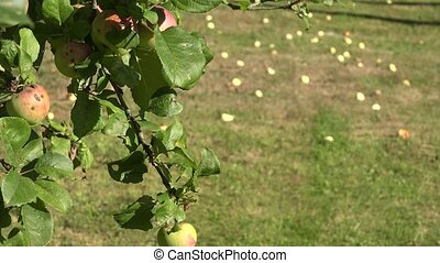 Apple tree branch with red ripe fruits and windfall apples lie on meadow grass. Focus change. 4K