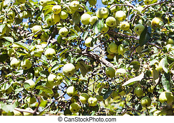 tree branch with ripe green apple fruits in garden