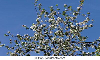 Apple tree branch with white flowers