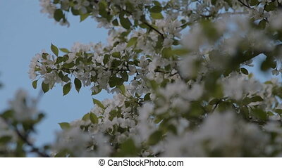 Apple tree branches in blossom. Spring time