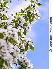 Apple Tree Branches with Blossoms against the Blue Sky on a Sunny Spring Day.