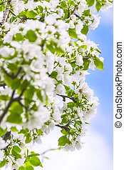 Apple Tree Branches with Blossoms against the Blue Sky on a Sunny Spring Day. Spring Renewal Concept