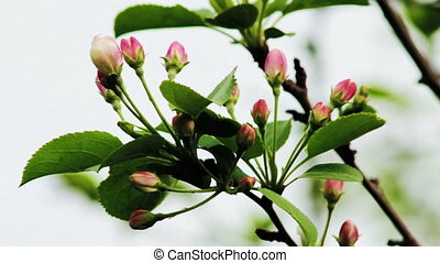 Apple tree buds in spring