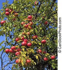 Apple tree detail - Detail of an apples tree full of red...