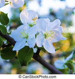 apple-tree, en el flor