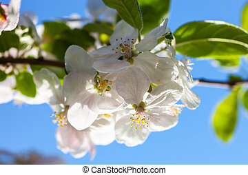 Apple tree flowers against the blue sky background