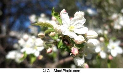 Apple Tree Flowers