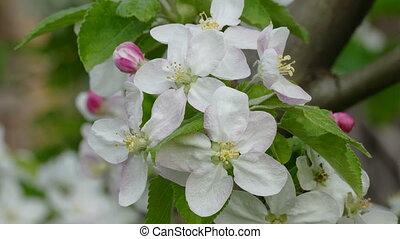 Apple tree  flowers, bee, bumblebee