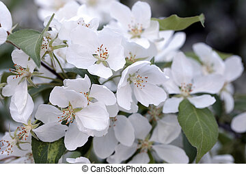 apple tree flowers in the spring