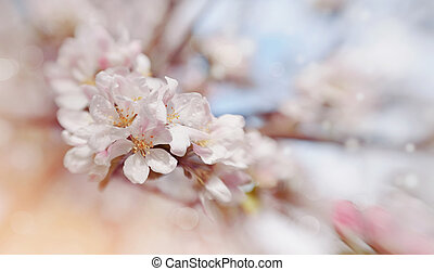 Apple-tree flowers in the spring - Blossomings of an...