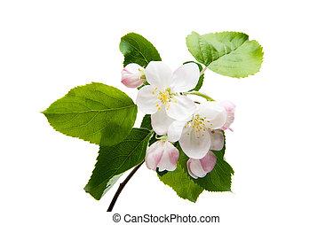 apple tree flowers isolated