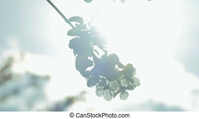 apple tree flowers on a branch in the sun slow motion video