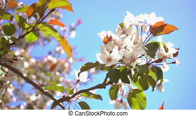 Apple Tree Flowers