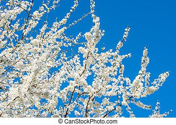 Apple tree flowers white blossom against blue sky