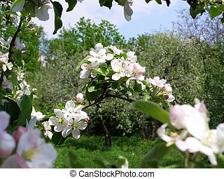 apple-tree, giardino