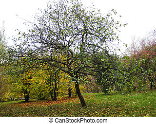 Apple-tree in a garden