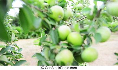 apple tree in a garden_focusing