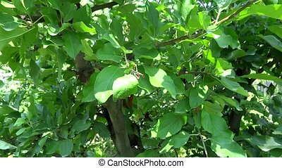 apple tree in afternoon presentatio