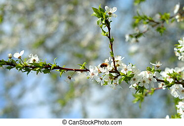 Apple tree in bloom and a bee - Apple tree in bloom in...