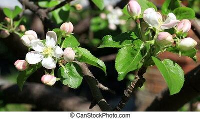 Apple tree in bloom in the garden.