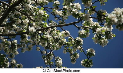 Apple-tree in bloom