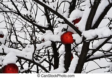 Apple tree in winter