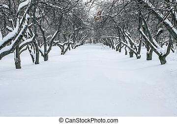 apple-tree, jardin, dans, hiver
