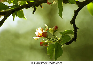 Apple Blossoms about to open on an apple tree limb with leaves