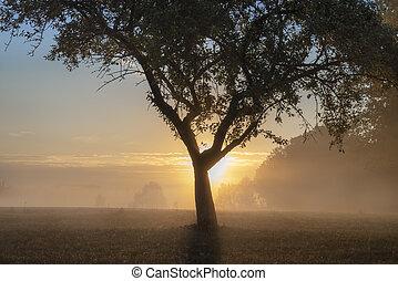 Apple tree on a foggy meadow at sunrise