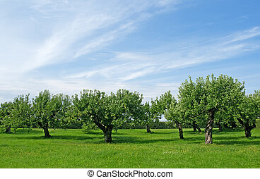Apple tree orchard - Apple trees on a green lawn under the ...