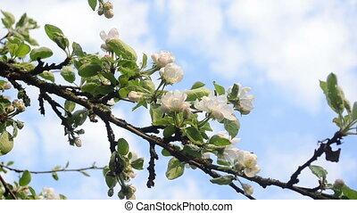 apple tree twig bloom - White blooming apple tree branch...
