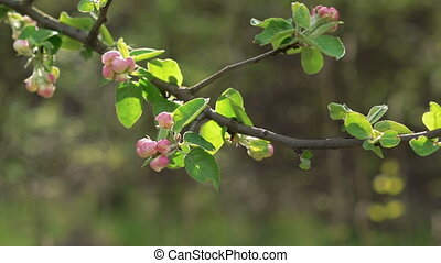 Apple-tree twig with flowers blossom in spring day