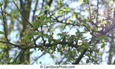 Apple-tree twigs with colourful blossom