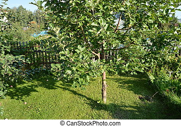Apple tree with apples growing in the garden on the background of grass and a wooden fence