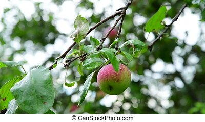 Apple tree with apples is wet from the rain