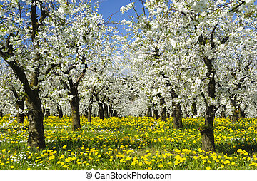 apple tree with bloom