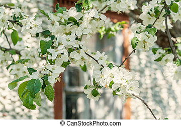 Apple tree with blossoming white flowers on a sunny day