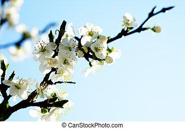 apple tree with flowers under blue skies