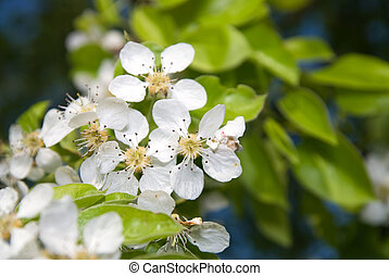 Apple tree with fresh flowers in a blossom.