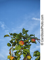 Apple tree with fruits and leaves