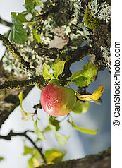 Apple tree with fruits - Branch of apple tree with ripening...