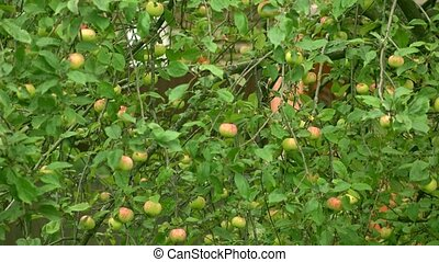 Apple tree with green and red apples 4K long shot